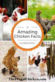 58 best what the cluck podcast episodes about chickens