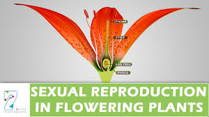 Which Is A Reproductive Cell Sexual Reproduction In Flowering Plants Youtube