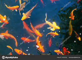 colorful japanese koi carp fish in a lovely pond in a garden