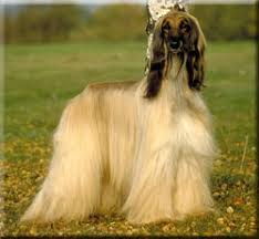 afghan hound pictures afghan hound breed information and pictures dooziedog com