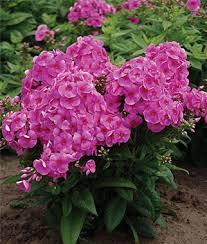 Phlox Flower Cosmopolitan Phlox Seeds And Plants Perennnial Flowers At Burpee Com