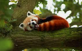 sleeping red fox wallpapers hd red panda wallpapers live red panda wallpapers py49 wp