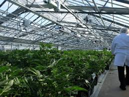 cannabis grow environments marijuana grow environments urban