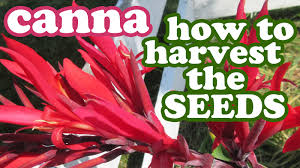 Canna Lilies Canna Lily Lilies Flowers How To Grow Cannas From Seeds Collect