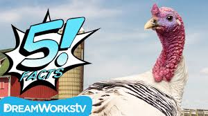 facts about thanksgiving turkey 5 turkey facts you can gobble up 5 facts youtube