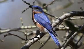 eastern bluebird sialia sialis bird in tree the bird