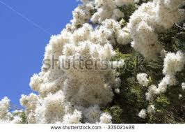 melaleuca stock images royalty free images vectors