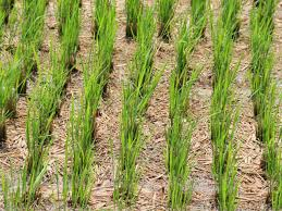 Most Difficult Plants To Grow How To Grow Rice Hgtv