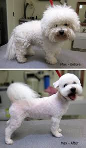 bichon frise meme dog grooming nyc bichon frise before and after yelp bichon