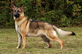 south australian german shepherd breeders domestic breeds with known or suspected wild ancestry topics on