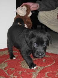 belgian sheepdog chow mix mix malinois dogs pinterest laekenois the rarest of four breeds