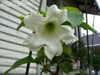 Fragrant Climbing Plant - fragrant climbing plants dave u0027s garden
