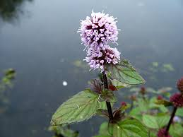 native uk pond plants what pond plants pond stars uk