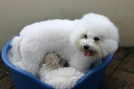 1 week old bichon frise bichon pedigree bichon frise breeder bichon frise puppy