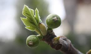 figs delivery israel s seven species fig jerusalem cornerstone foundation