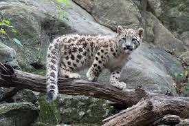 Photos Of Snow Snow Leopards Wcs Org