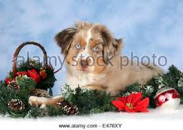 australian shepherd yorkie puppies cute christmas miniature australian shepherd puppy wearing santa