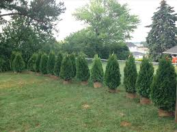 best privacy trees lscaping for sale nj cheap