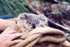 cute baby koala album on imgur