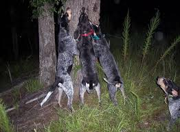 bluetick coonhound climbing tree photos of lovable coon hound dogs and a little story