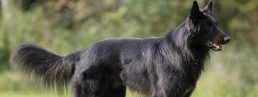 lifespan of belgian shepherd belgian shepherd groenendael breed guide learn about the belgian