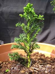 grow trees from seed as bonsai cultivation technique bonsai empire