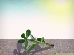 How to Grow a Jade Plant 13 Steps with wikiHow