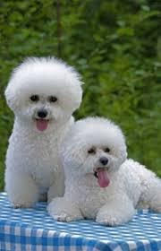 bichon frise breeders bichon frise dog breed information pictures characteristics