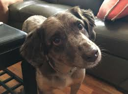 australian shepherd and beagle mix australian shepherd dog gone problems dog gone problems