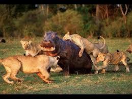 imagenes de leones salvajes gratis documental 2014 hd juego de leones game of lion youtube