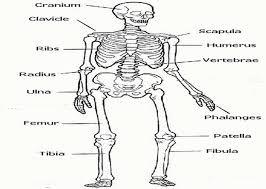human skeletal system worksheet coloring page free printable with