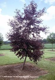 chokecherry prunus virginiana forest nursery