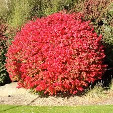 non flowering shrub shrubs trees u0026 bushes the home depot