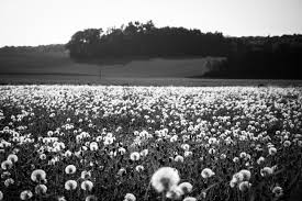 free stock photo of black and white dandelion delicate