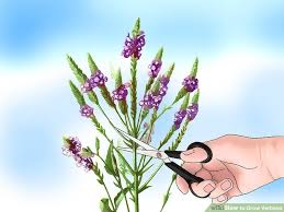 Verbena Flower How To Grow Verbena 12 Steps With Pictures Wikihow