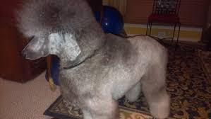 holy haircut options page 2 poodle forum standard poodle