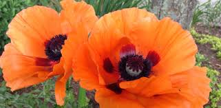 poppies flowers how to grow poppies in your garden today s homeowner