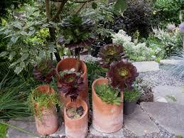 terracotta pots file aeonium arboreum u0027atropurpureum u0027 in terracotta pots in
