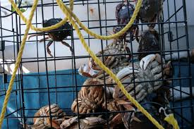 stillhowlyntravels tis the season for dungeness crab