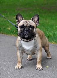 French Bulldog Meme - french bulldog dog breed gallery