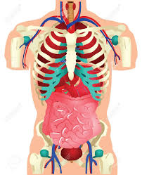 Anatomy Structure Of Human Body Human Body Parts Images U0026 Stock Pictures Royalty Free Human Body