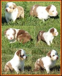 australian shepherd 4 weeks old jessie u0027s litter 2 pup2 blue eyed red merle male miniature
