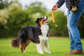 australian shepherd dog the australian shepherd dog right canine breed for you