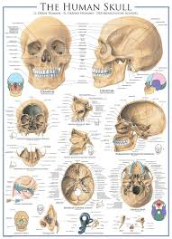 Base Of The Skull Anatomy Human Skull Anatomy U0026 Biology Jigsaw Puzzle Games And Puzzles