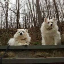american eskimo dog brown american eskimo dog