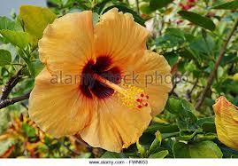 Yellow Hibiscus Flowers - yellow hibiscus flower stock photos u0026 yellow hibiscus flower stock