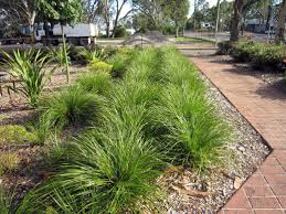 native plant centre lomandra longifolia u0027breeze u0027 dwarf mat rush pilmer ratcliffe