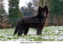 belgian sheepdog groenendael belgian shepherd dog sheepdog puppy stock photo royalty free