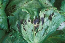 Bacterial Diseases Of Plants - bacterial leaf spot of lettuce request for samples salinas