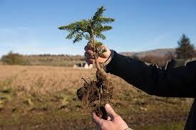 christmas tree farming in scotland at edenmill farm